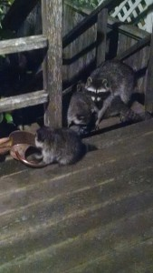 racoons2