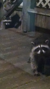 racoons4