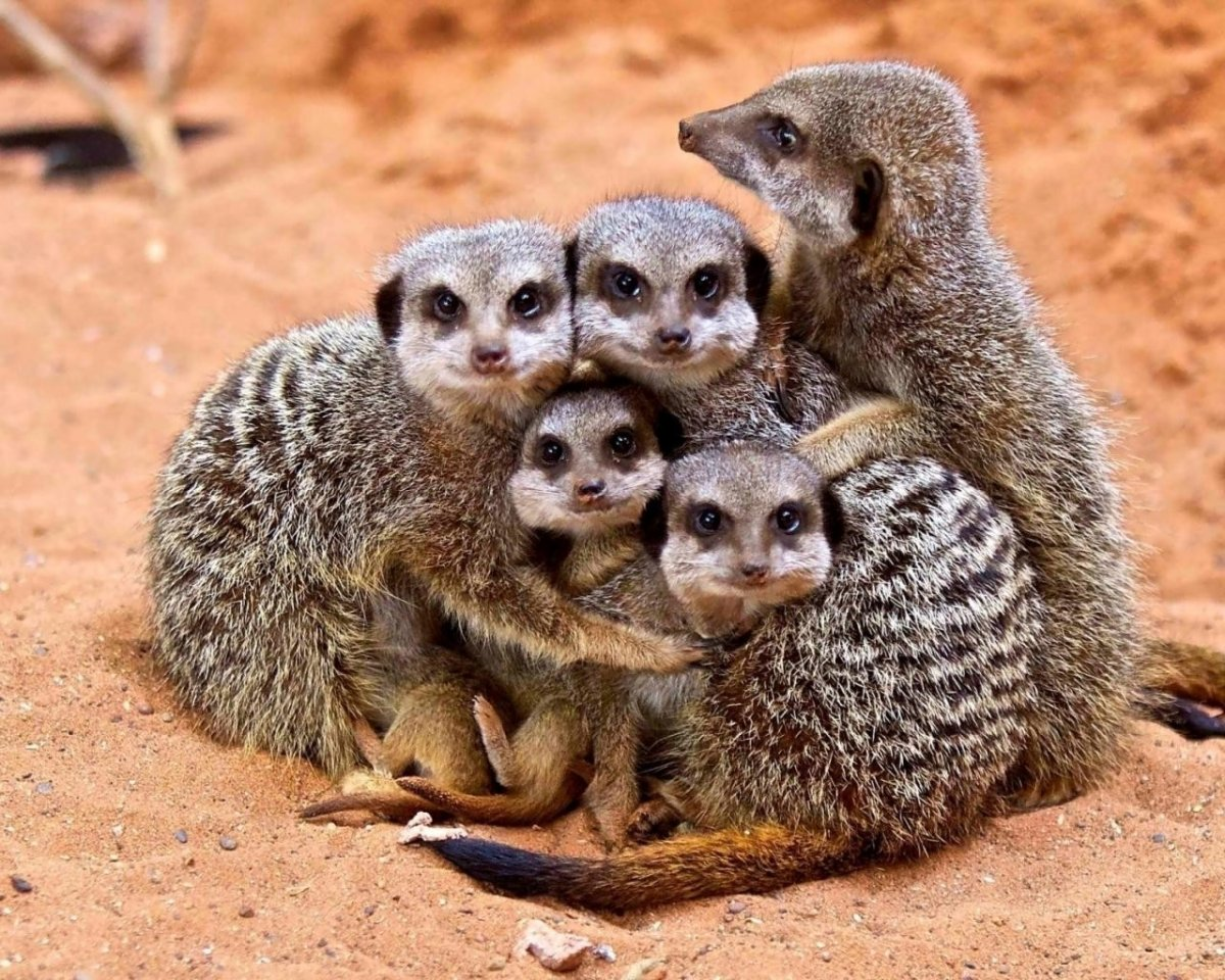 сурикаты семья