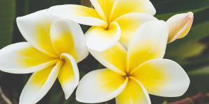 Гардения - Тиаре-Французская Полинезия