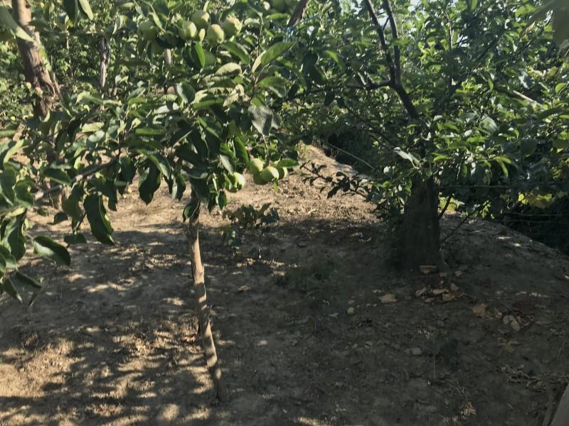 Сад обновлен(старый ствол,но ветки молодые),почищен,высажены новые деревья.