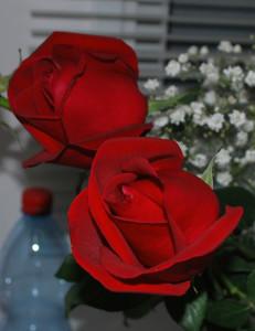 Розы 003