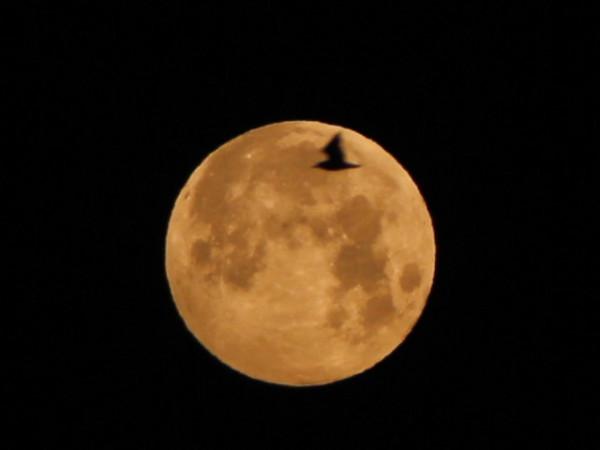 Пролёт чайки на фоне Луны - за полчаса до наступления максимальной фазы полутеневого лунного затмения 06.06.2020