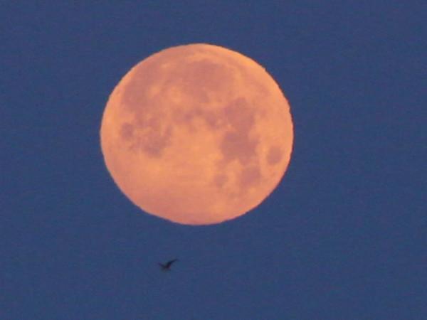 Пролёт чайки визуально под Луной - во время максимальной фазы полутеневого лунного затмения 06.06.2020