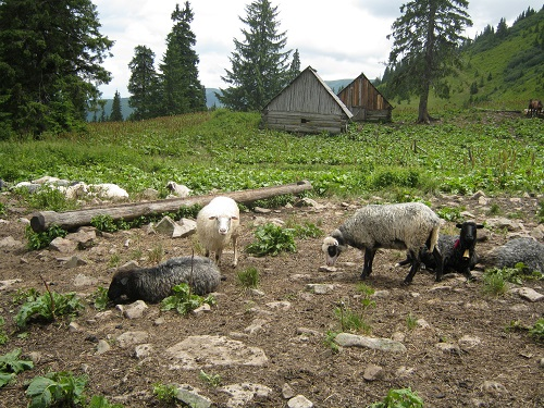 7 - На склонах горы Браткивской безмятежно щиплют травку овечки_ вдали - колыбы, деревянные летние домики, чабанов