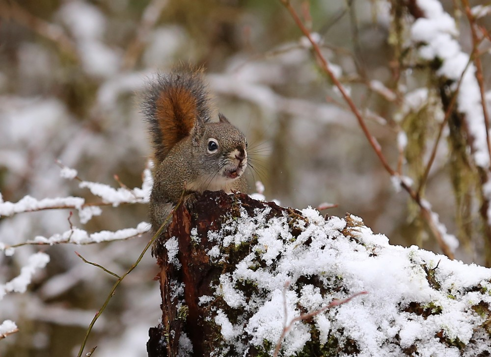Chattering red squirrel tree squirrel Alaska