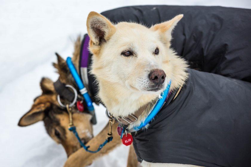 2015 Iditarod Koyuk 30 - 20150316