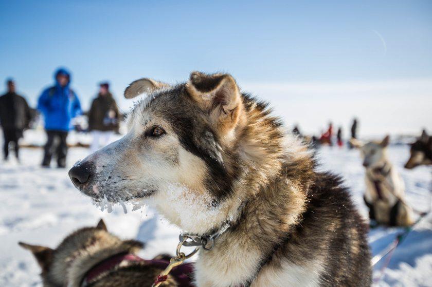 2015 Iditarod White Mountain 12 - 20150317