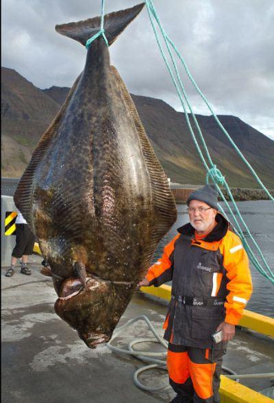 record-breaking-halibut