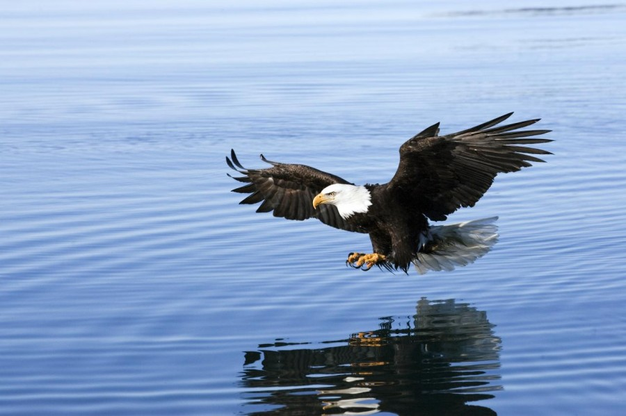 2010-3-17_EAGLE_APPROACHING_FISH-TALONS_W3H2559.310104444_large