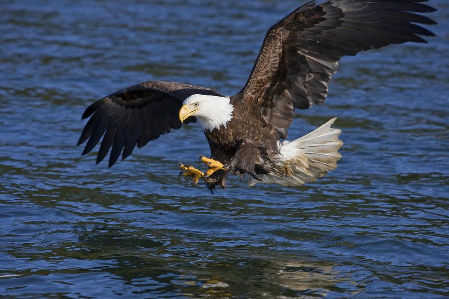 bald-eagle-fishing-john-hyde