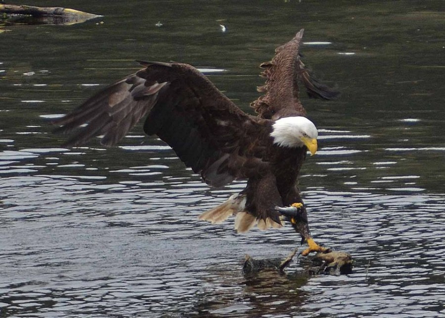 c82-Eagle_Fishing