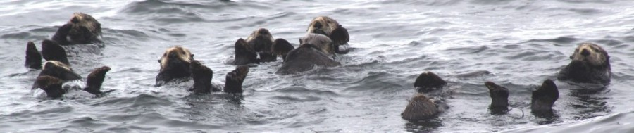 cropped-a-bunch-of-otters