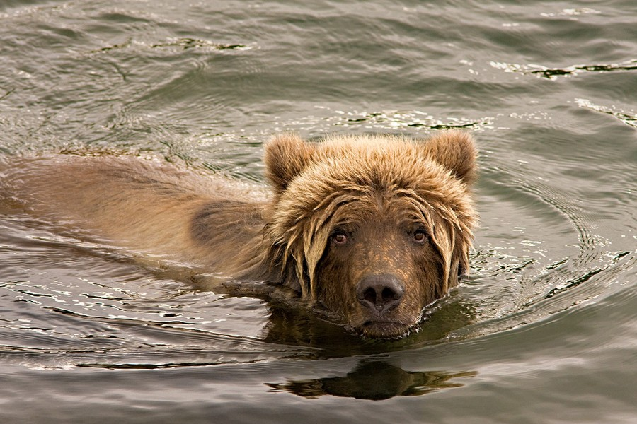 young_bear_in_water