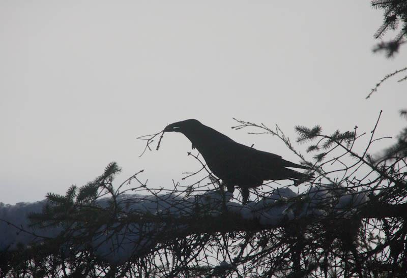 20120320-raven_sticks