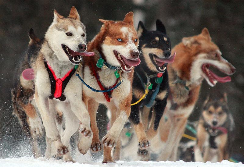 800px-Iditarod_Ceremonial_start_in_Anchorage,_Alaska