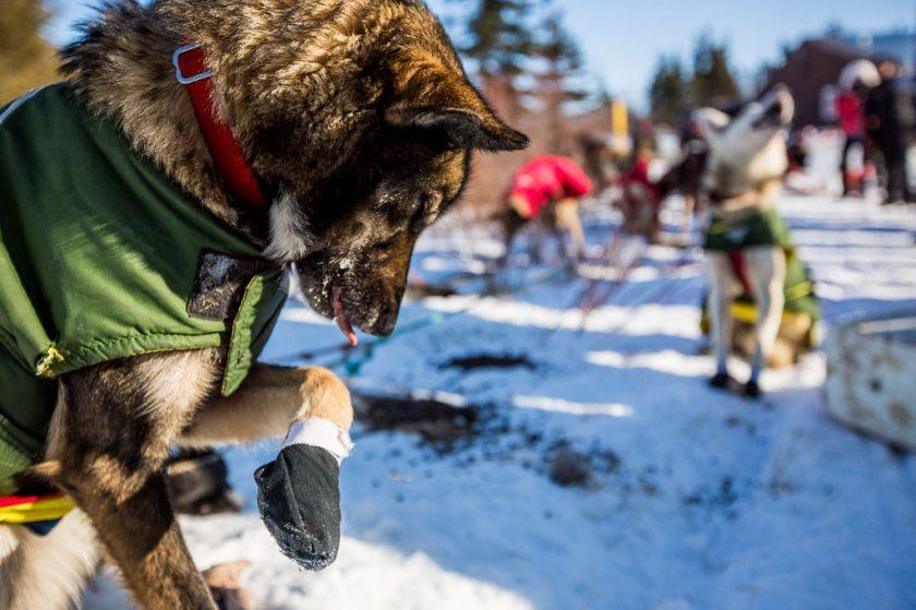 2014 Iditarod Koyuk 13