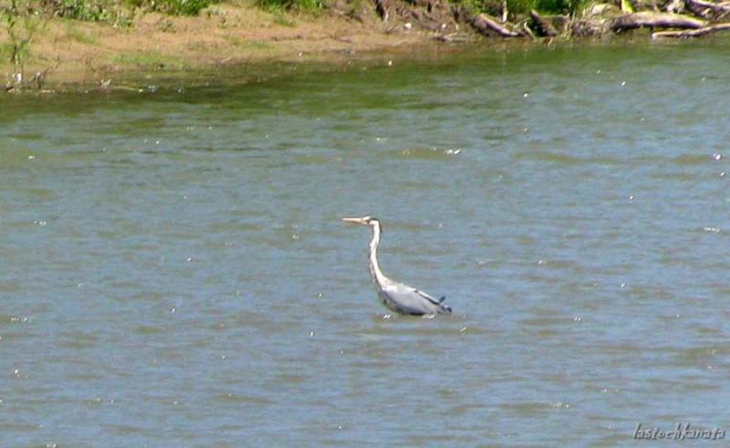 Неизвестная птица стоит на мелководье