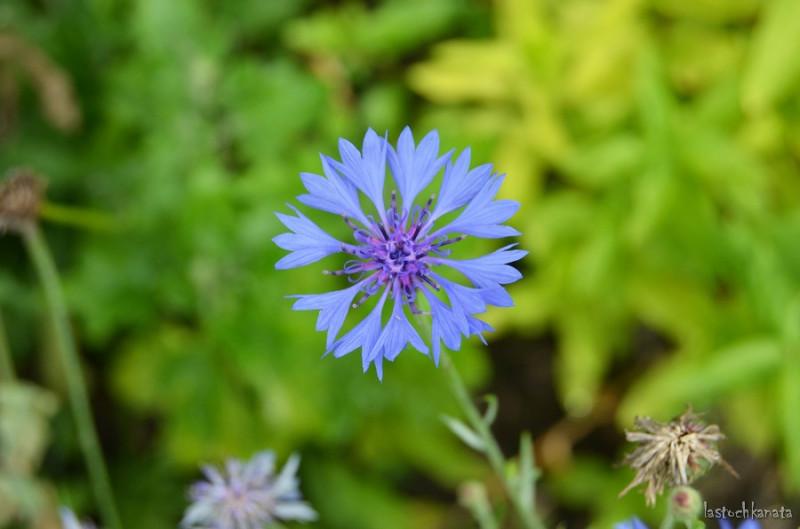 Василёк — мой любимый цветок (из песни)