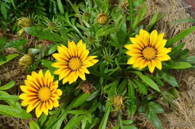 Гацании долго болели после посадки, но сейчас цветут хорошо