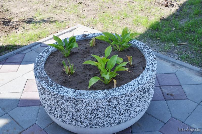 Клумба, украшенная гранитной или мраморной крошкой. В неё высадили хосты и ещё какие-то многолетние цветы.