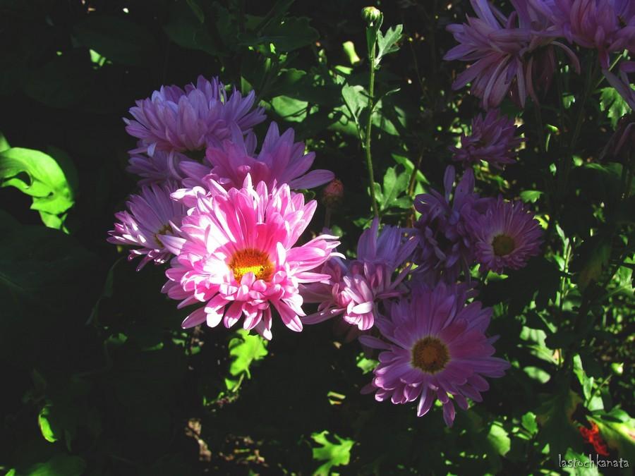 Хризантемы, покупала весной кустик. Оказались не махровые