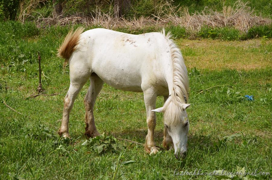 Белая лошадь.jpg