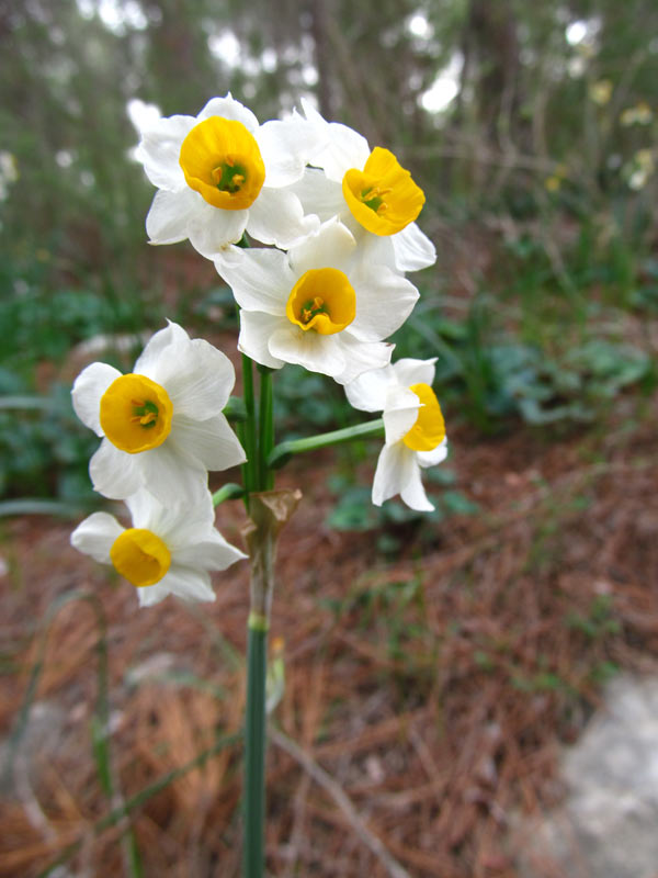 Narcissus_tazetta5796