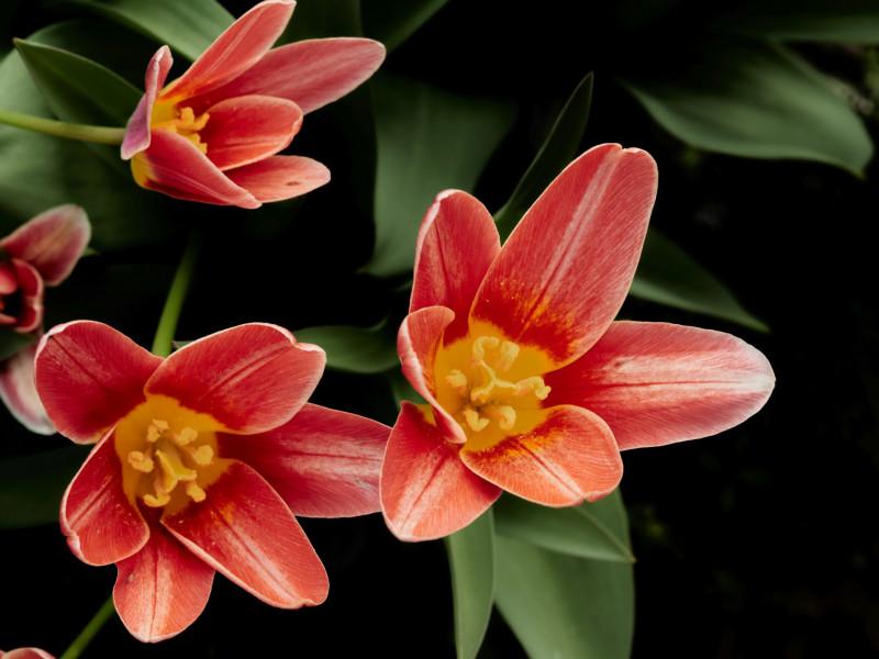 Tulpen, denke ich