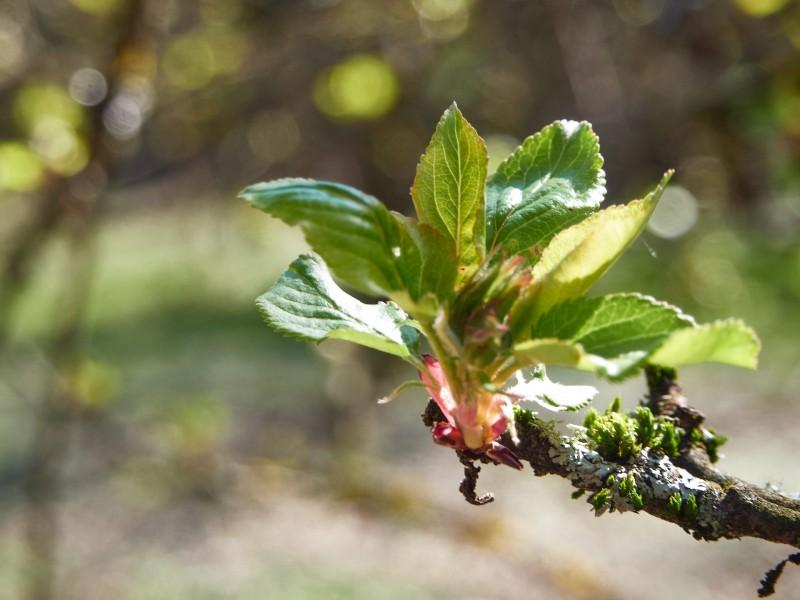 Bald ist es soweit und die Apfelbäume werden wunderschön blühen