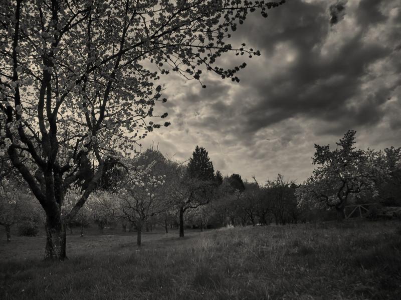 Die Obstbäume auf den Streuobstwiesen beginnen zu blühen