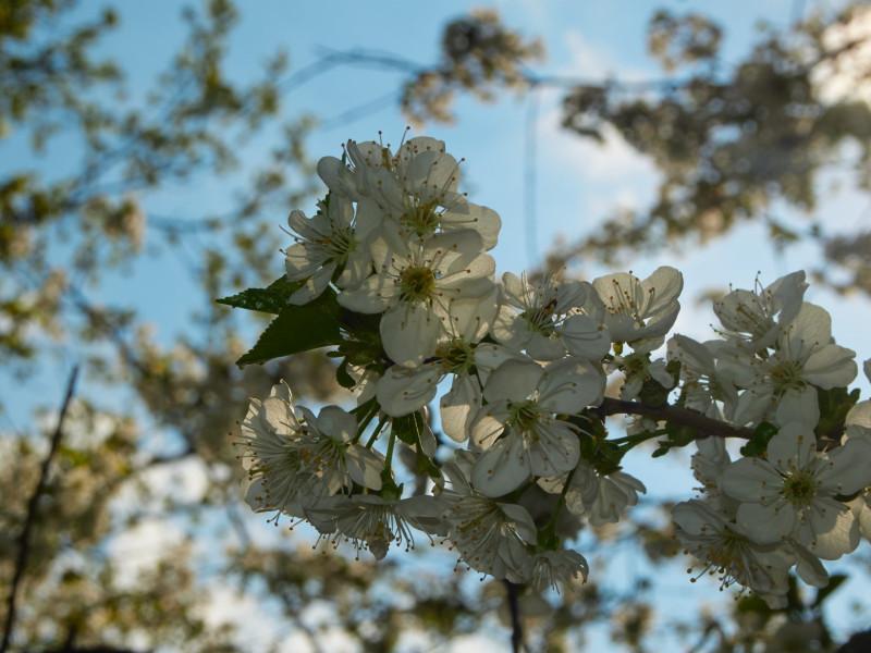 Es ist die Zeit der Obstbaumblüten