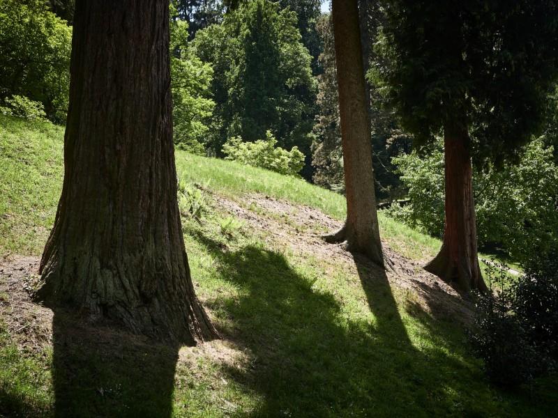 sie zählen zu den ältesten Mammutbäumen in Deutschland