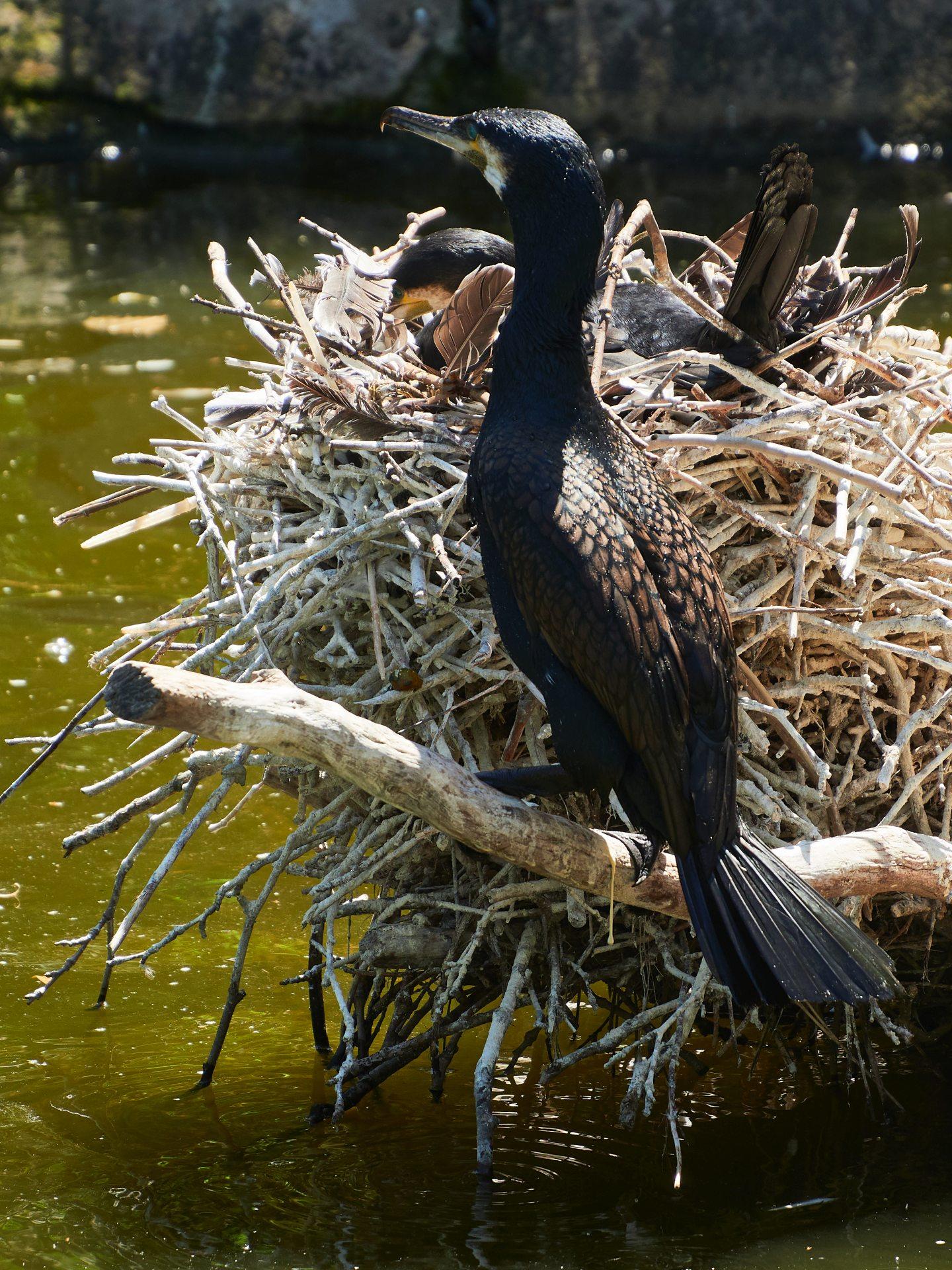 Und schon wieder fast draußen - der Teich des Opelzoos wird von Kormoranen und Graureihern mit benutzt