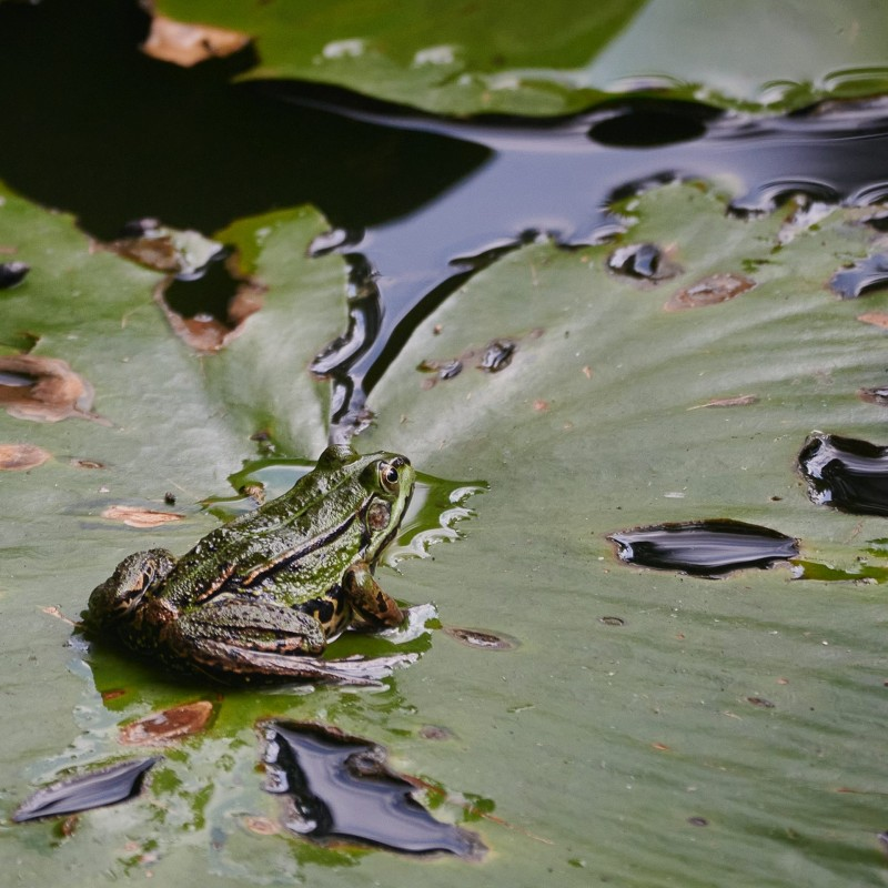 Rana esculenta - ein Teichfrosch