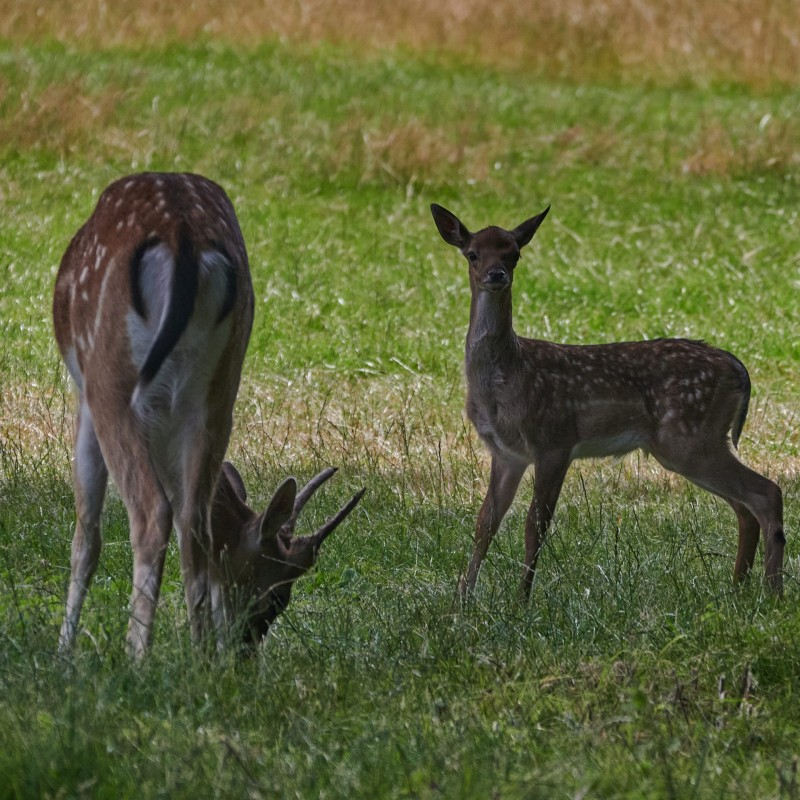 Damhirsche - als Parkwild eingeführt sind sie inzwischen heimisch. Auch viel des Hirschfleisches stammt von Farmen, in denen die Tiere zum Schlachten gehalten werden (was ich, je nach Haltungsbedingungen, abartig finde)