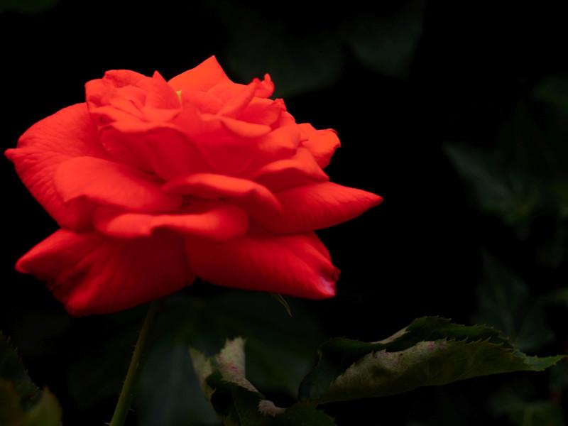 Rosen von Amorbach