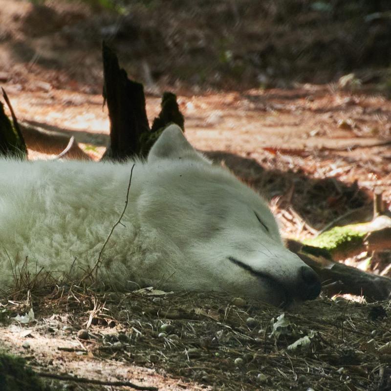 ... die weißen Wölfe haben geschlafen und sahen sehr friedlich dabei aus