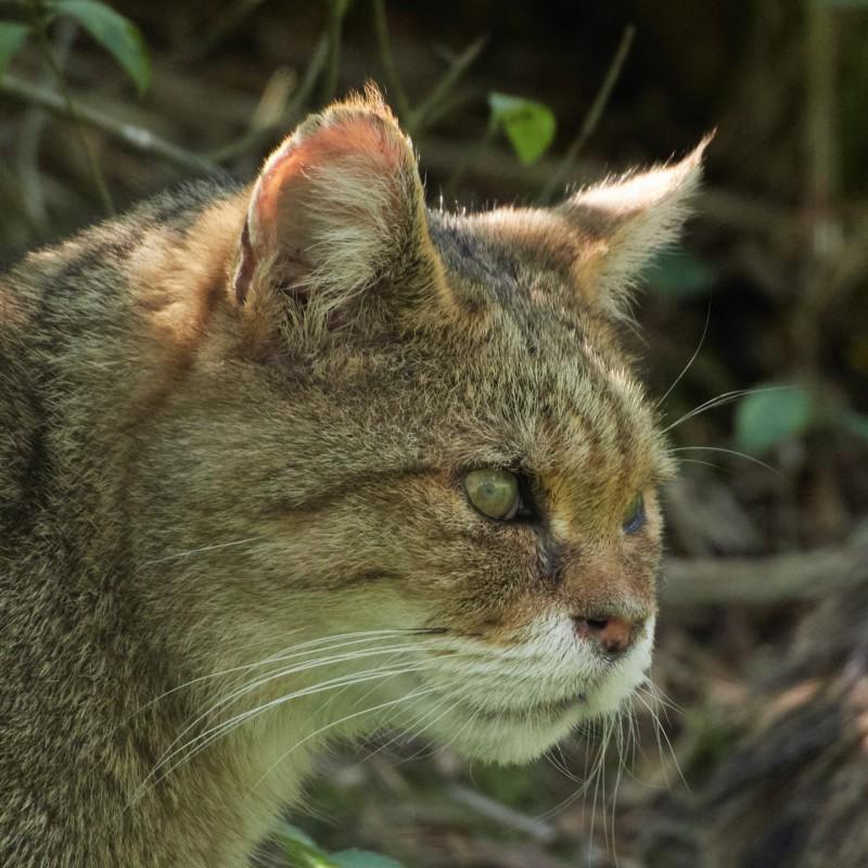 brav Modell gestanden und gelaufen sind die Wildkatzen
