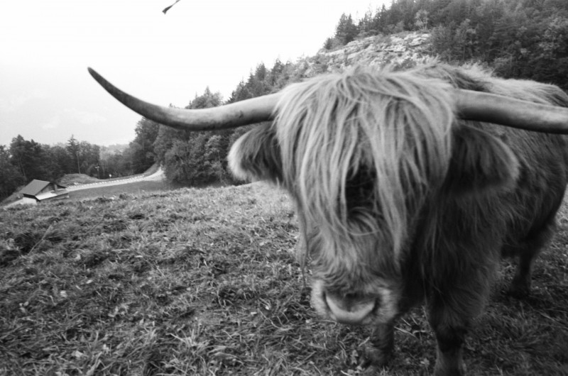 Hasliberg — ein freundlich-neugieriges West-Highland Rind