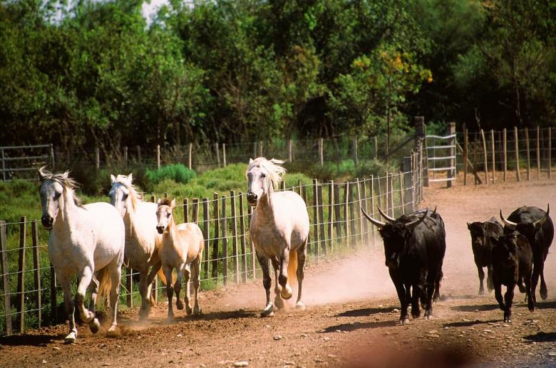 ... die weißen Pferde und die Stiere prägen das Bild der Landschaft.