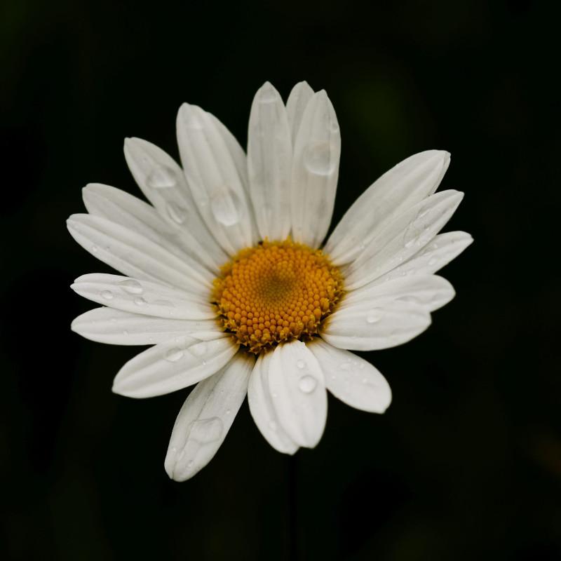 Margerite - Leucanthemum maximum - auf der Wildwiese. Außer nassen Füßen beschert einem der Regen auch die Möglichkeit, Dröbbelscher-Fotos zu machen, ohne mit einer Sprühflasche herumzulaufen