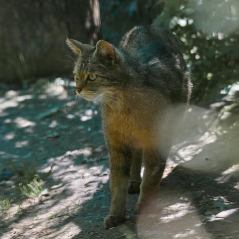 Wildkatze, ausnahmsweise gar nicht so verpeilt schauend wie arttypisch