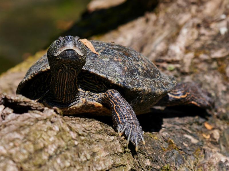 Schmuckschildkröte (Neuwelt-Sumpfschildkröte)