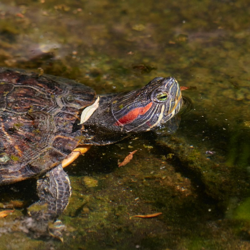 Rotwangenschmuckschildkröte (Trachemys scripta elegans) - inzwischen gibt es von der amerikanischen Art durch ausgesetzte Tiere (die bleiben halt nicht knuffig klein wie im Zoogeschäft) hierzulande ein sich selbst reproduzierendes Vorkommen.