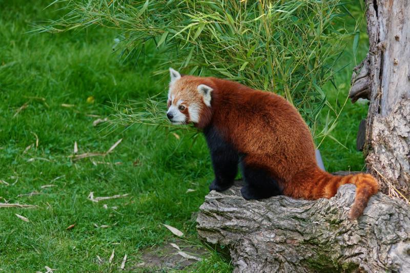 Ach — hatte ich schon erwähnt, daß ich dort war, um Rote Pandas zu fotographieren?