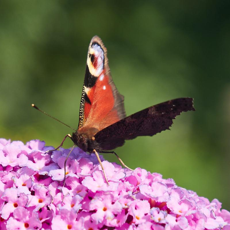 Das Schloß Neuburg ist ein Restaurant, doch im Garten hatte es viele Schmetterlinge ...