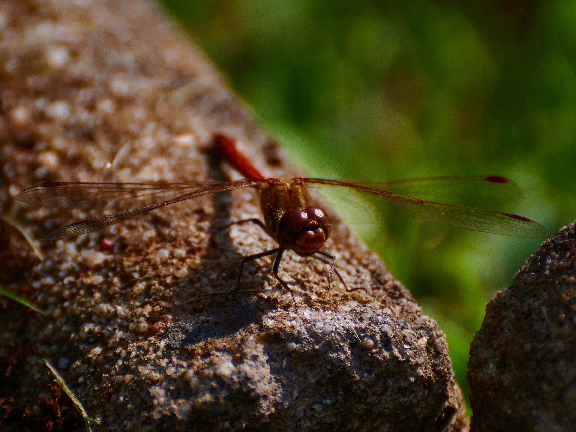 Die Falken unter den Insekten — eine Libelle gab meinem Garten die Ehre