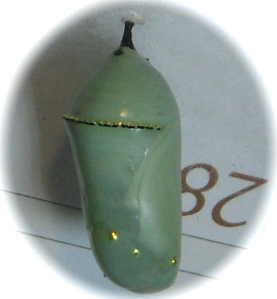 Monarch Chrysalis, Day 11, 9-23-12