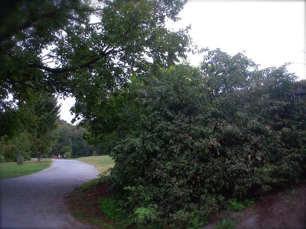 Shrub at Greenbelt Lake touching the old elm's branc, .10-1-12